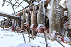 Drying codfish, a typical Norwegian product, Svensby, Lyngen Alps, Troms, - stock photo