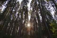 Conifer plantation in Plymbridge Woods, Plymouth, Devon, England, United Stock Photos