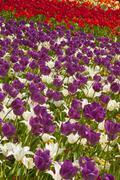 Field of Dutch tulips near Amsterdam. The Netherlands, Europe - stock photo