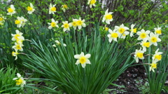 Flower narcissus in green grass - stock footage