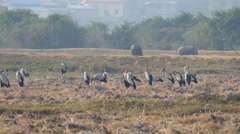 Big group of Asian openbill storks standing at the farmland with water buffaloes Stock Footage