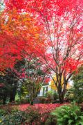 Tree with red leaf on Vista Avenue in portland Stock Photos