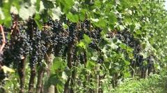 Vineyards. Grapes in organic vineyard in season harvest Stock Footage