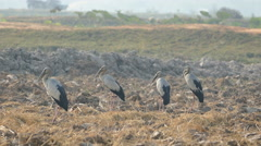 Close up from five Asian openbill storks standing at the farmland Stock Footage