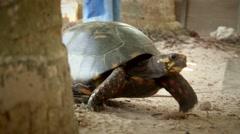 Big turtle walking slowly forward Stock Footage