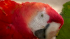 Parrots. Red and Green parrots together starring to camera.  Stock Footage