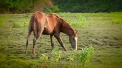 Wild horse by himself in the wild. Wild horse eating meadows Stock Footage