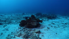 Coral trout hovering on deep sand and coral rubble, Plectropomus leopardus, HD, Stock Footage