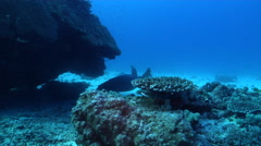 Green turtle swimming on deep sand and coral rubble, Chelonia mydas, HD, UP31019 Stock Footage