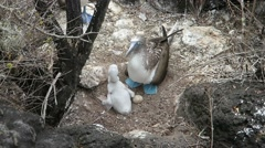 Blue-footed booby with chick and egg Stock Footage