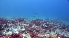 Steephead parrotfish feeding on shallow coral reef, Chlorurus microrhinos, HD, Stock Footage