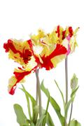 Flaming Parrot Tulip Flowers. - stock photo