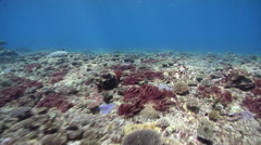 Ocean scenery strong surge, lots of new coral recruits, some algae, on shallow Stock Footage