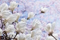 White magnolia flowers over blooming cherry and blue sky Stock Photos