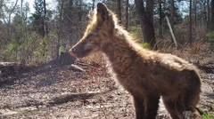 Red Fox with mange Stock Footage