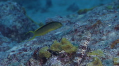 Tonga fangblenny feeding, Meiacanthus tongaensis, HD, UP31056 Stock Footage