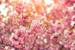 Beautiful pink cherry blossom flower at full bloom. Sakura Stock Photos