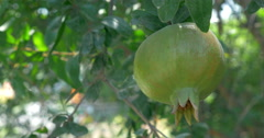 One Green Maturing Pomegranate Stock Footage
