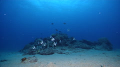 Schooling bannerfish feeding and schooling on sand and reef at dusk, Heniochus Stock Footage