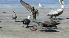 Very greedy sea gull fight for food Stock Footage