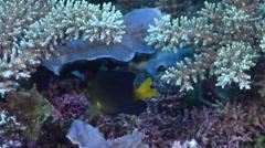 Undescribed Fiji yellowtail damsel swimming on hard coral microhabitat, Stock Footage