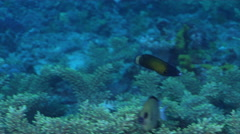 Southern tubelip wrasse swimming on coral reef at dusk, Labropsis australis, HD, Stock Footage