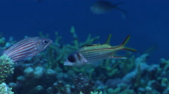 Spotfin squirrelfish hovering on coral reef at dusk, Neoniphon sammara, HD, Stock Footage