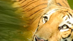 Royal Bengal Tiger In River Stock Footage