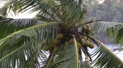 Tropical wind and coconut palm tree leaves. Sri Lanka . Close up Stock Footage