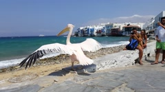 Mykonos Town, Greece - summer. Pelican mascot at Little Venice (Aleykantra) Stock Footage