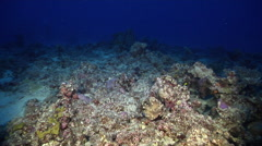 Ocean scenery scattered healthy hard corals, on stressed coral reef, at dusk, - stock footage