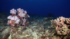 Ocean scenery some surviving soft corals, sponges, hard corals, shot ends on Stock Footage