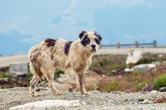 Dog guard the sheep on the mountain pasture Stock Photos
