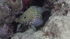 Honeycomb grouper courting, Epinephelus merra, HD, UP31236 - stock footage