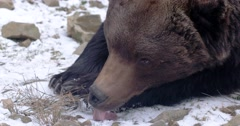 Brown Bear in Forest Liking Snow - stock footage