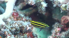 Juvenile Unidentified wrasse swimming on hard coral microhabitat, HD, UP31244 Stock Footage