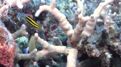 Juvenile Unidentified wrasse swimming on hard coral microhabitat, HD, UP31247 Stock Footage