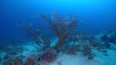 Ocean scenery moving around large branching hard corals, on shallow coral reef, Stock Footage
