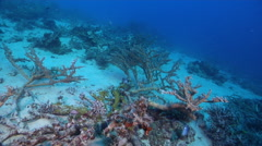 Ocean scenery large protected coral garden with fragile branching acropora spp., - stock footage