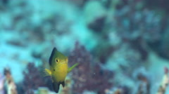 Undescribed Fiji yellowtail damsel feeding, Pomacentrus sp., HD, UP31255 Stock Footage