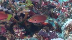 Dotted wrasse swimming, Cirrhilabrus punctatus, HD, UP31259 Stock Footage