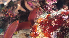 Female adult Dotted wrasse hovering, Cirrhilabrus punctatus, HD, UP31261 - stock footage