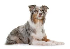 Tricolor australian shepherd Stock Photos
