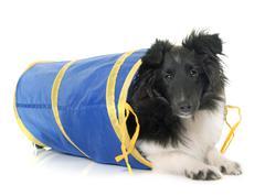 Puppy shetland sheepdog in agility Stock Photos