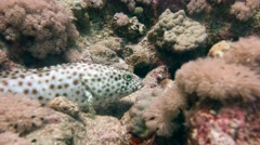 Disturbed grouper fish expresses clear dissatisfaction. Stock Footage