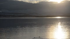 Golden sunset reflection on fjord surface with birds swimming Stock Footage