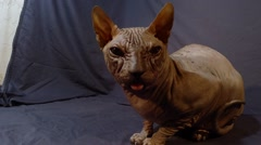 Purebred Sphynx Cat With Sticking Out Tongue Sitting Inspects Environment Stock Footage