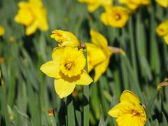 Lovely yellow daffodil flowers blooming in the spring. Stock Photos