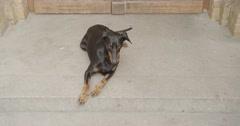 Dog lying in front of a wooden door, crane shot - stock footage