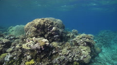 Ocean scenery healthy hard corals, on very shallow reef and surface, HD, UP31350 Stock Footage